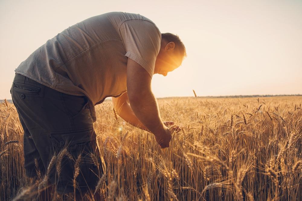 homem verificando a plantação de trigo